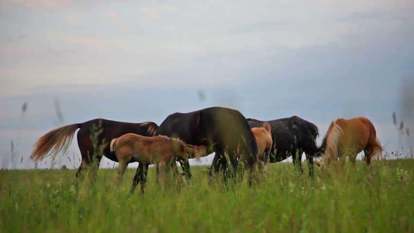 Herd of horses grazing freely on green pasture | Shutterstock HD Video #6529307