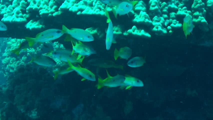 prionurus punctatus yellowtail surgeonfish reefs of the sea of