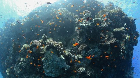 POV of scuba diver surface next to a coral reef wall. Shark Reef,  Ras Mohammed National Park, Red Sea, Egypt?