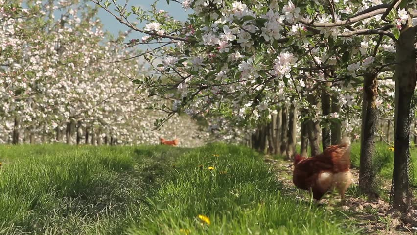 Chicken in a blooming apple orchard