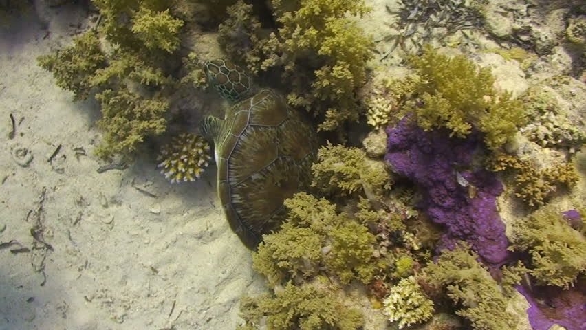 A juvenile female Hawksbill turtle (Eretmochelys imbricata) scratching its back on hard coral. Red Sea, Egypt. | Shutterstock HD Video #667093