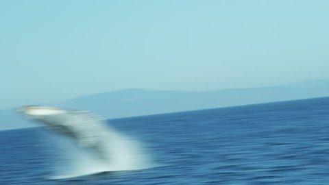 Breaching Humpback whale aquatic mammal, California coastal waters Pacific ocean, USA, RED EPIC