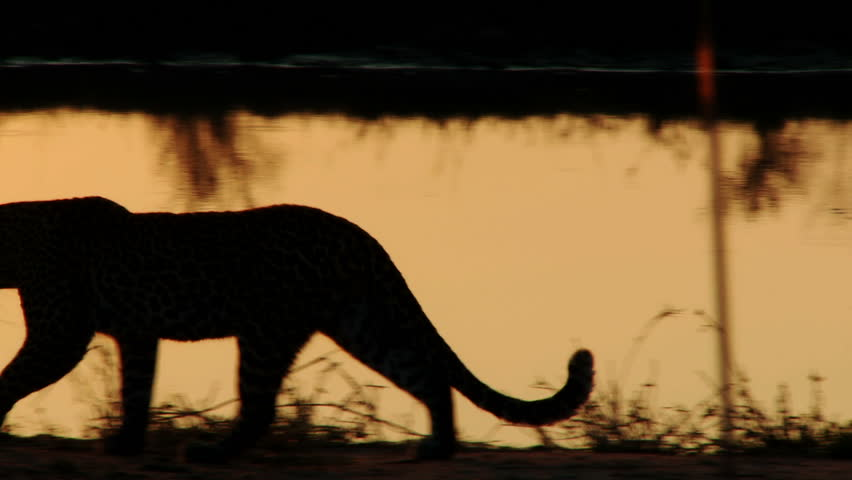A leopard is silhouetted by the setting sun as it walks along a waterhole