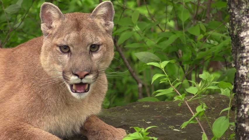 Cougar video hd