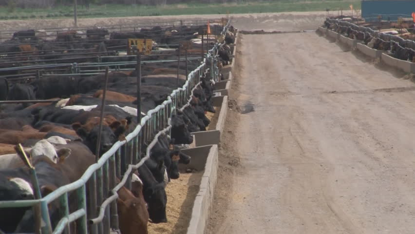 Tracking shot of steers crowding the metal corrals and feed bunks enclosing several breeds of beef cattle being fattened for slaughter in a crowded feedlot in Southern Colorado.