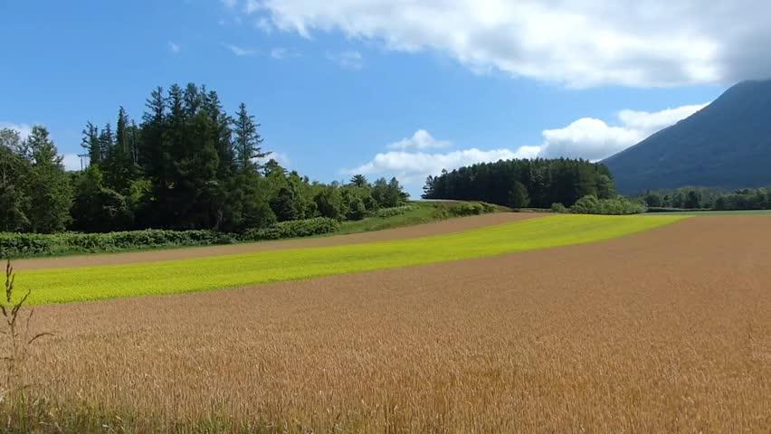 Line yellow rape fields and wheat fields._4 / Shooting date; July 21,2014 Location;. Hokkaido,Japan /  Rape fields of bright colors planted like a line in the vast wheat fields. Countryside of Japan.