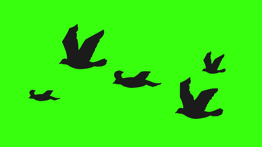 Flock of birds silhouette flying on green screen. Seamless and looping animation.
