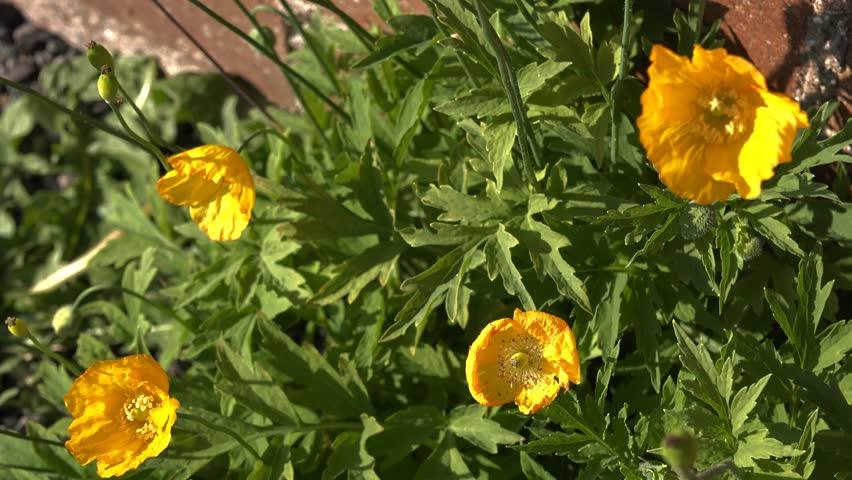 Stock video of wild yellow poppies welsh poppies 6890953 stock video of wild yellow poppies welsh poppies 6890953 shutterstock mightylinksfo