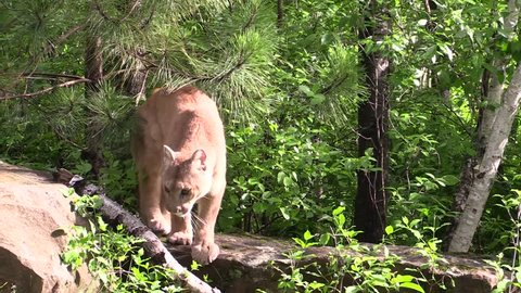 A cougar comes out from hiding in the bushes