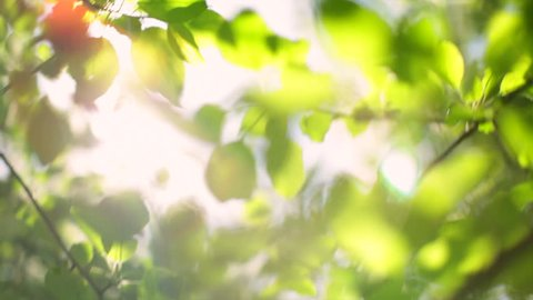 Play of sunbeams through apple tree foliage on the wind. Beautiful blur nature background. Peaceful softness in the cute full HD footage. 1920x1080