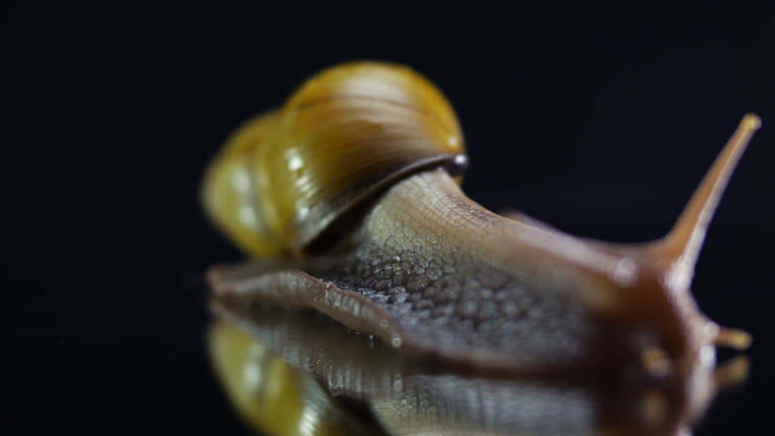 Large snail crawling on a glass surface