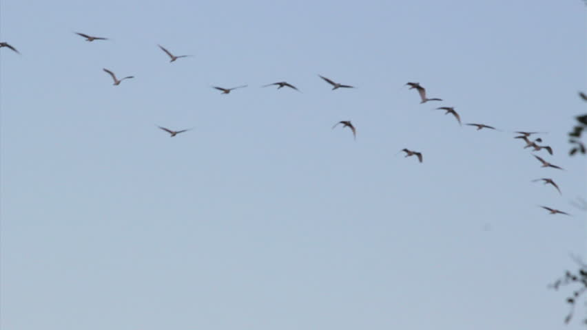 Flock of birds against the sky | Shutterstock HD Video #6960823