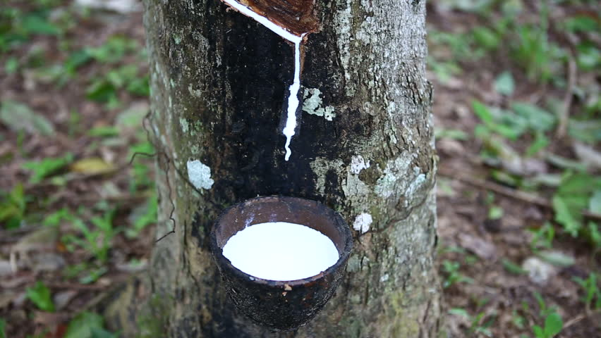 Transform process of rubber industry , milk latex procees to raw sheets