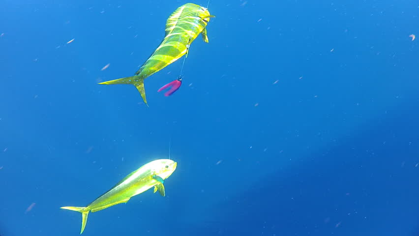 Dolphin Fish (Coryphaena hippurus) in Florida Keys. Underwater footage of Sport fishing in open ocean for pelagic species. Both a bull (male) and cow (female) Mahi Mahi