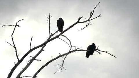 Buzzard bird Silhouette in dead tree. Turkey vulture sitting in dead tree after feeding on a dead animal. Sunny and warm early morning. Large black carrion eating birds. Carrion eating mystical scary.