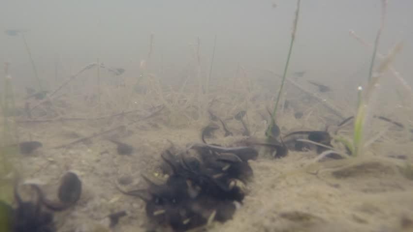 Eastern Spadefoot (Scaphiopus holbrookii) tadpoles swimming, time lapse