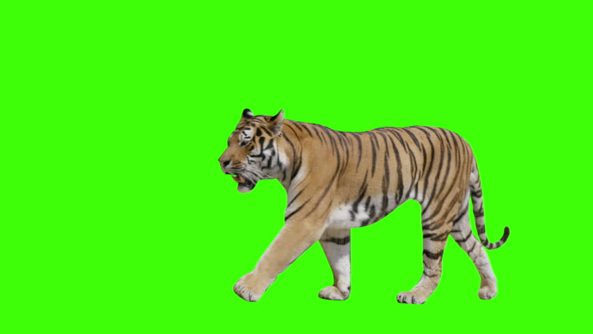 Tiger walking across the frame on green screen. Shot with Red Dragon. Alpha channel included. #7148293