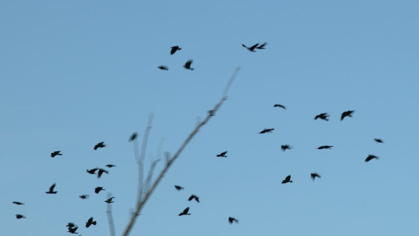Crows In Flight | Shutterstock HD Video #7229023