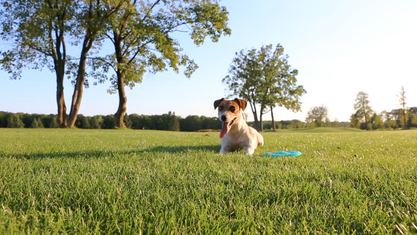 Agitated young healthy active dog runs on a green field with trees. Funny Jack Russell Terrier best dog! #7270903