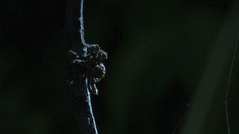 Close up of a Portia Spider on a branch in the dark