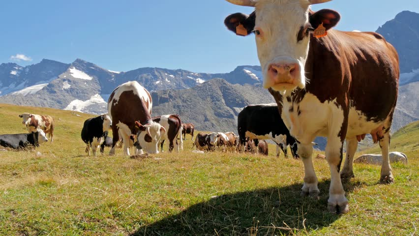 cattle in an alpine landscape, ceresole reale, italy, september 2014 #7296673