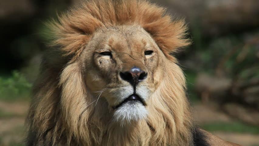 Lion #732433