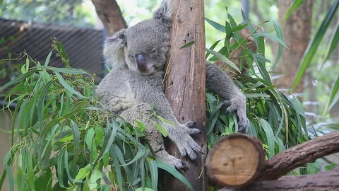 Cute Koala Bear Sleeping On Tree