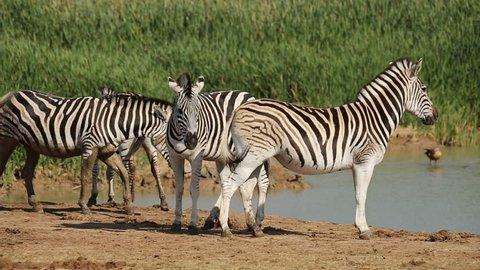 Plains (Burchells) zebras (Equus burchelli) gathering at a waterhole to drink, South Africa