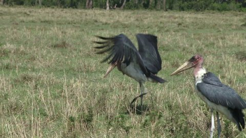 A stork steals a line of intestines from another.