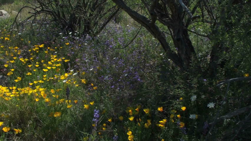 Unique peak into a cactus forest colored with yellow and purple wildflowers in a spectacular spring display. Pan left. 1920x1080