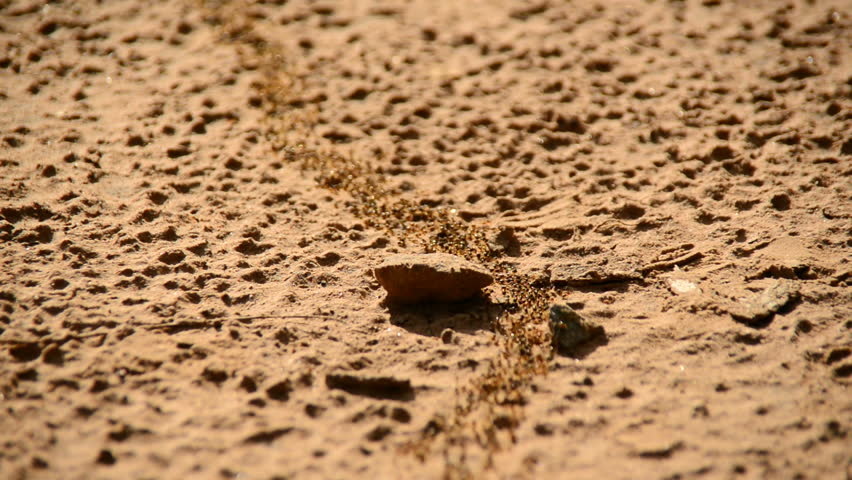 Giant Ant Colony on the March