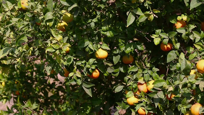 Some mandarins hanging on a tree | Shutterstock HD Video #7568683