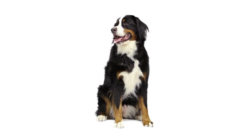 A pretty and happy Bernese Mountain Dog sitting and looking around for 6 seconds. Video shot from a low angle.