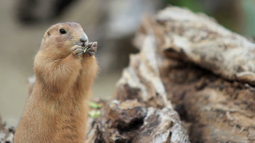 Gopher chewing an apple