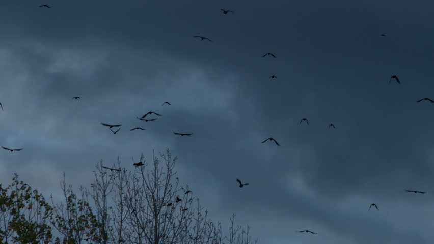 Crows In Flight | Shutterstock HD Video #7655833