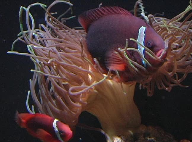 Anemone Anatomy