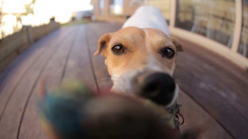 Dog tug-of-war HD gets a surprise