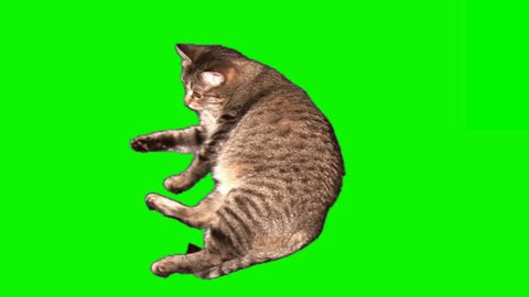 Fattened grey striped female cat lying, licking, turning over and runs away (on green screen)