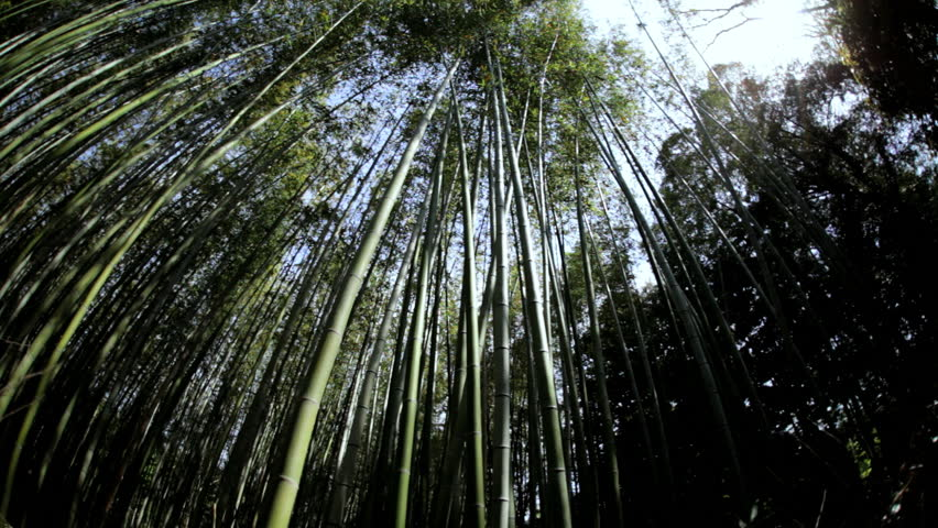 Bamboo rainforest natural environment sunlight Sagano Japanese plant harvest tree travel tourism business Arashiyama Kyoto Japan Asia | Shutterstock HD Video #7808533