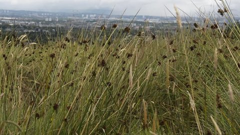 Tall grass in Paisley, Scotland. 1080p HD with natural sound.