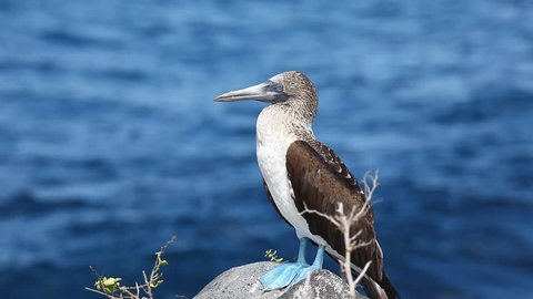 Blue-footed Booby, Sula nebouxii, in the Galapagos Islands