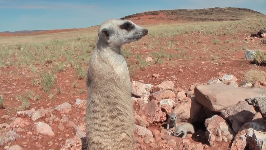 suricate guard watching babies #7927093