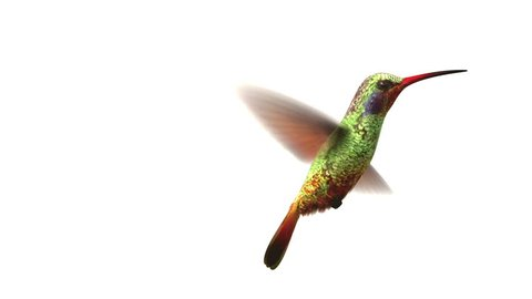 Humming bird on white background, 3d animation.  set your own flower