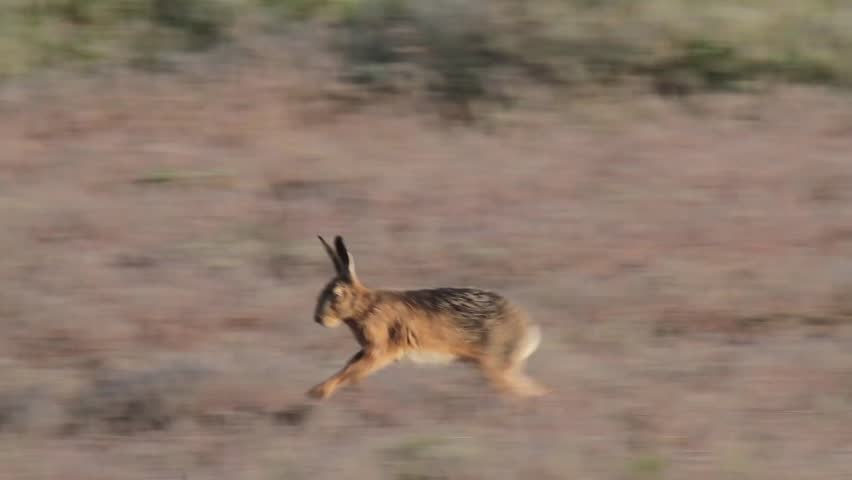 Couple of hares during mating season