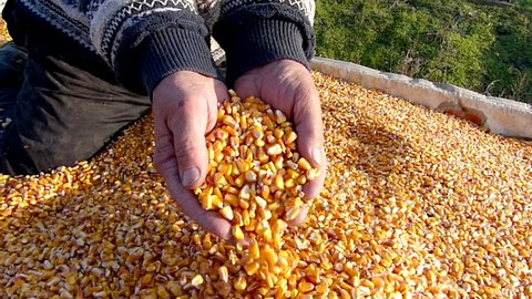 Corn grains in a hand - good harvest, slow motion