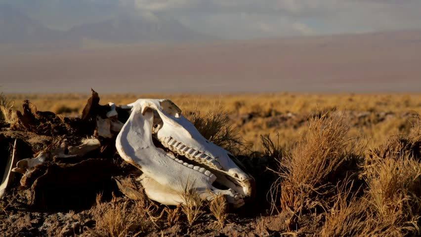 Animal carcass lies on the desert of Atacama in Chile. Desert animals are exposed to scorching hot temperatures for long periods of time.