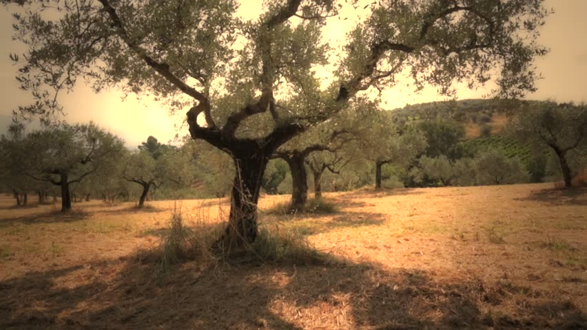 Plantation of olive trees with old olive tree ready for harvest in sunset