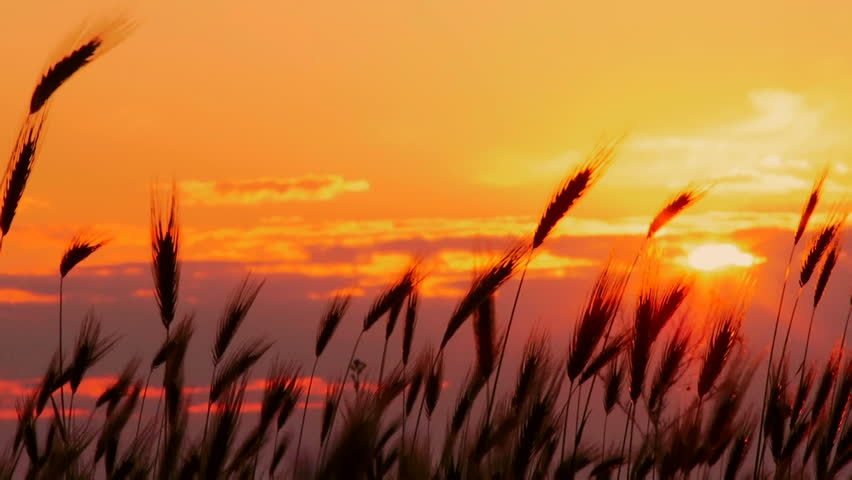 Wheat at sunset. Beautiful spikes of wheat against the setting sun. It blows a gentle breeze.