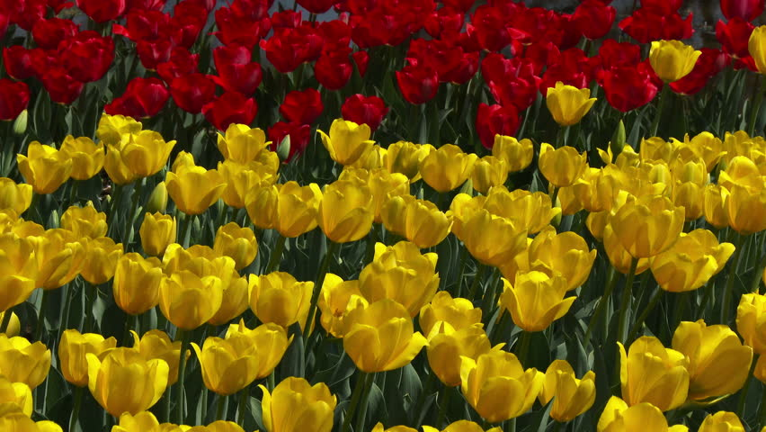 Yellow and red Tulips swaying in the wind