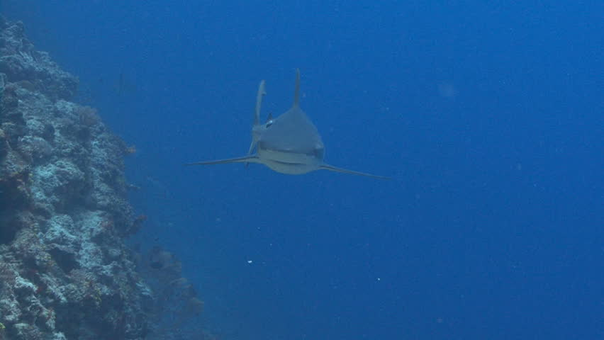 Shark swims at camera